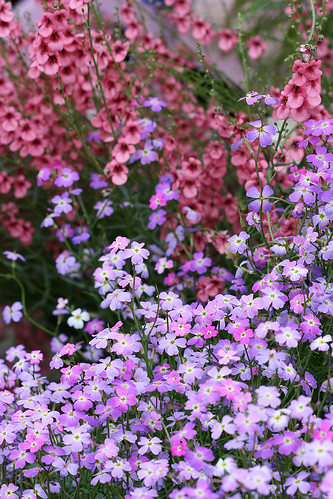 malcomia maritima and diascia integerrima