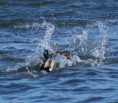 Ducks landing by Sis (Jaedde & Sis) Tags: two denmark ducks landing sis splash viborg nrres 3waywinner storybookwinner pregamewinner