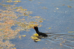 Coot (blachswan) Tags: water australia victoria coot ballarat wetland hatchling winterswamp mullahwallahwetlands