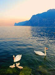 Meet the Anatidae family of Lago di Garda (Peace Correspondent) Tags: sunset italy lake bird nature beautiful birds d50 swan nikon wildlife stunning waterfowl cygnets lakegarda lagodigarda anatidae northernitaly fv20 5photosaday views1750 anawesomeshot