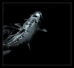 Pez de Plata ((Lolita)  8) Tags: pez agua uno plata ltytr2 ltytr1 ltytr3 ryc4x2