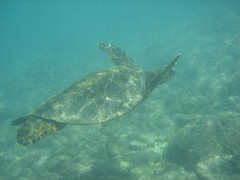 Sea turtle at Honaunau on Hawaii's Big Island