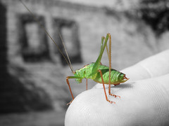 Grasshopper on my finger (Hugo-photography) Tags: pictures bw white black macro verde green up yard photoshop cutout out insect print groen close cut aerial selected spots buy grasshopper locust cutouts grayscale groene antenna sprinkhaan vinger cavalletta langosta saltamontes feeler heuschrecke criquet grashpfer sizeall palp tentakels acridien vingerprint httpwwwistockphotocomfilesearchphpactionfileuserid3070148order6filetypesizeprice{typeimage priceoption1} {typeillustration20vector sizevector20image priceoptionall} {typeflash sizeflash20document {typevideo {typestandard20audio {typepump20audio