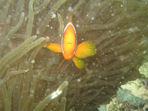 Tomato clown anemonefish
