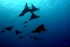 School of Spotted Eagle Ray, Saipan (_takau99) Tags: ocean trip travel november school sea vacation holiday fish uw nature topf25 water topv111 topv2222 island lumix islands topf50 topv555 topv333 topf75 asia ray underwater stingray wildlife topv1111 topv999 topv444 dive scuba diving topv222 panasonic explore topv5555 pacificocean icecream tropical scubadiving topv777 topv3333 topv4444 topv666 topf10 topf15 topf35 mariana gettyimages 2007 saipan eagleray topv888 topv6666 topf60 topf5 topf20 cnmi topf30 topf40 spottedeagleray topf55 fx30 topf70 group10 takau99 myliobatidae top20fish explore100 dmcfx30 onephotoweeklycontest northernmariana wondersea 20top20fishaquarium