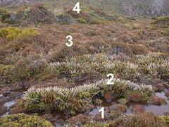 lande tourbeuse (Mt Hartz, Tasmanie) (jardin.lautaret) Tags: voyage australie 1000m tasmanie parcnational 1500m tourbire tagesubalpin stationalpinejosephfourier monthartz