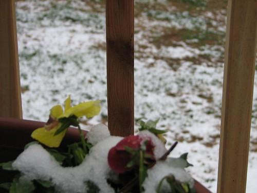 snowpansies