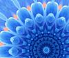 kal-crisantemo-blu2