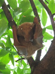 bat with baby at LS (restio) Tags: bat kruger lowersabie