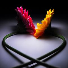 Heart Of Love... (TIO...) Tags: bravo loveit howromantic heresmimbrava tiosstyle flamboyantflowersaswellastheelegantheartshape thelightontheflowerslooksasiftheyareglowingfromwithin nicetoseeyourgerberaskissing bettertogetherthanapart gorgeouslightandcolorpuretio andiseeaheart yourfloweryodetoloveisaspellbindingone alemdagqualityonlyclub