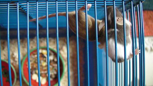 farbige Mäuse