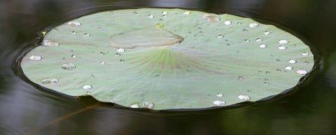 dew on lotus leaf lalbagh150308