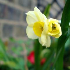 surprise daff (gorgeoux) Tags: uk flower green london leaves yellow petals stem dwarf balcony pot tiny daffodil bud minnow narcissus daff