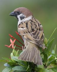Eurasian Tree Sparrow - adult  (Passer montanu...