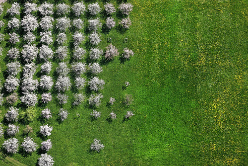 Flowering fruit trees da Aerial Photography.