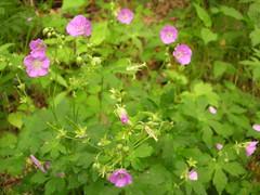 Cranesbill geraniums