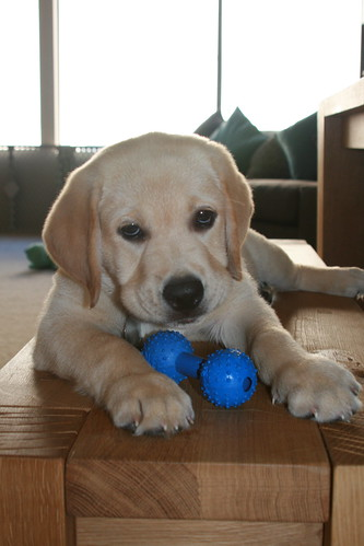 cute yellow labrador puppy. Cute yellow labrador puppy