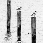 Three Seagulls thumbnail