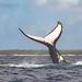 whale-watching-tonga34