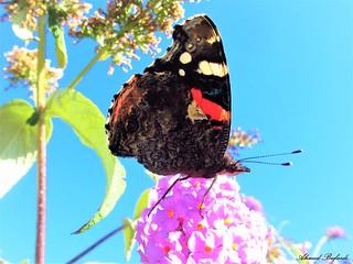 Butterfly 1176