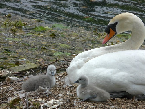 Swan and Cygnets on Surry Water