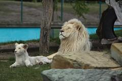 Lwen_IMG_1479_k (AnZy1966) Tags: tiger cheetah whitetiger whitelion gepard weisetiger weiselwen jungeweiselwen