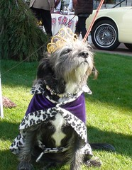 Royally aloof (thescruffydog09) Tags: show dog pet animal cake bacon mutt lily bc treats victoria vancouverisland treat victoriabc scruffy yyj barkery theroyals thefairmontempress kateandwilliam theroyaldogshow afternoonteatogo
