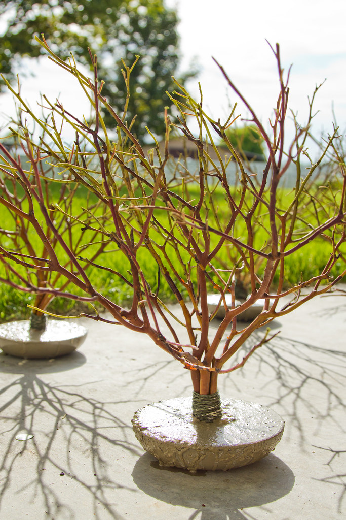 mini manzanita trees