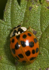 """Harlequin Ladybird (Harmonia axyridis(5) • <a style=""""font-size:0.8em;"""" href=""""http://www.flickr.com/photos/57024565@N00/1491008155/"""" target=""""_blank"""">View on Flickr</a>"""