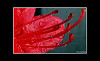 Azalea (Bonell Photography (dasbull)) Tags: light red usa flower color colour macro art texture love tourism nature beautiful beauty contrast photoshop work dark real fun lumix us photo washington amazing cool fantastic artwork flickr niceshot shot angle natural northwest image awesome feel great joy perspective picture atmosphere location best sharp panasonic aberdeen dew frame passion pacificnorthwest pro northamerica wa azalea washingtonstate pnw hardwork tone borders authentic exciting generic 2007 graysharbor fz50 amature joyfull twinharbors hoquiam dmcfz50 panasonicdmcfz50 dasbull ronbonell
