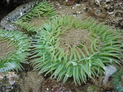 Sea Aneneneneome (Heather R Davis) Tags: oregon honeymoon cannonbeach seaanemone ecolastatepark cannonbeachor heatherjason