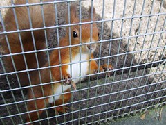 Don't Fence Me In! (visionthing64) Tags: park red animal rodent squirrel cage lancashire bolton mossbank dontfencemein msh1107 msh11076