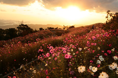 Autumn Landscape (PacoAlcantara) Tags: flowers autumn sunset fall japan gardens clouds landscape japanese angle wide kii hills explore fields    peninsula kansai japon cosmos  kumano wakayama   canonefs1022mmf3545usm    arida    naturewatcher