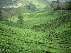 DSCN0517 (huai*) Tags: highlands tea cameron teaplantation