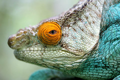 Close up, Calumma Parsonii (Parson's Chameleon)