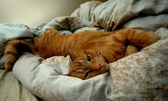 DSC_0004 (demerson) Tags: orange broken cat is bed tabby think meow bent i