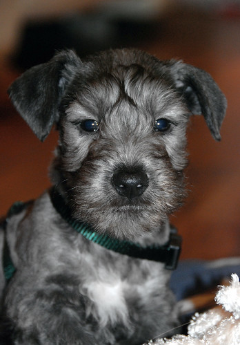 Cesky Terrier breed dog