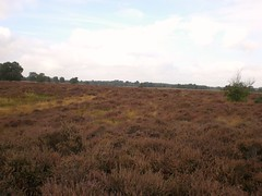 Cavenham Heath Suffolk (Bury Gardener) Tags: uk england suffolk heath eastanglia cavenham cavenhamheath