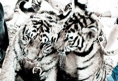 Two sweet tigers