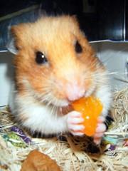 20080101 - 31 (kayako_) Tags: hamster pon