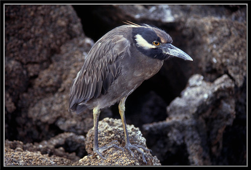 Yellow-crowned Night Heron (Nycticorax violaceus) - Tower Island