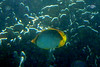 Blackback Butterflyfish on Koh Ngai Island