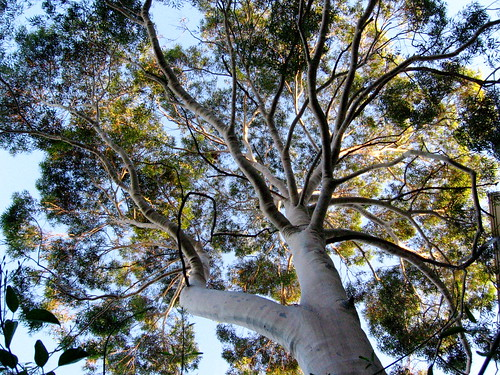 evening light in a lemon scented gum, Carlton