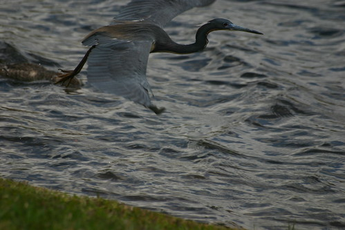 Heron flies to keep up