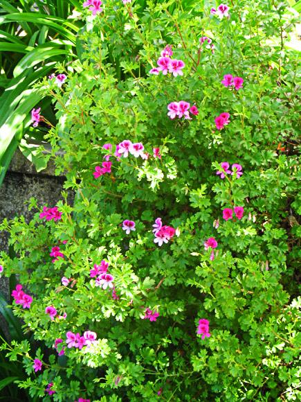azaleas at san simeon