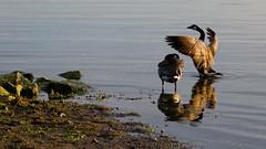 Canada Geese (tomsun) Tags: bird suomi finland geese wings helsinki goose helsingfors canadagoose canadageese lauttasaari fågel gås gäss drumsö