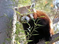 RED PANDA (jgspics) Tags: australia redpanda canberra itsazoooutthere thenationalzooaquarium