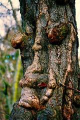 Grumpy old man - Mürrischer alter Mann (cammino5) Tags: baum pareidolie hofgarten würzburg februar 2017 franken deutschland grumpyoldman pareidolia
