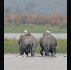 the ele shuffle (JuttaMK) Tags: india elephants assam kaziranga mauekay
