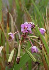 Spathoglottis plicata (Orchidaceae)
